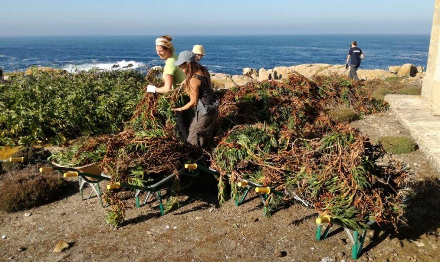 Voluntariado ambiental na eliminación de especies exóticas invasoras